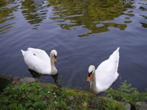 二羽の真っ白な白鳥